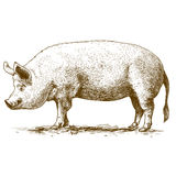 Vektorillustration des Gravierens des großen Schweins stock abbildung