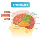 Vektorillustration för Frontal lob Märkt diagram med hjärndelstrukturen stock illustrationer