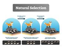 Vektorillustration för naturligt val Förklarad intrig med livevolution stock illustrationer