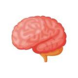 Vektorillustration för mänsklig hjärna Arkivfoton