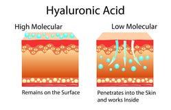 Vektorillustration med Hyaluronic syra i hud-omsorg produkter Lågt - molekylärt och högt - molekylärt Fotografering för Bildbyråer