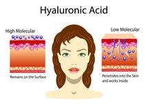 Vektorillustration med Hyaluronic syra i hud-omsorg produkter Lågt - molekylärt och högt - molekylärt isolerat Royaltyfri Fotografi