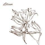 Vektorillustration mit Handzeichnungs-Lilienblumen Stockfotografie