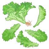 Vektorillustration som en uppsättning av grönsallat lämnar utan lutningar royaltyfri illustrationer