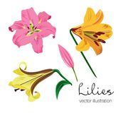 Vektorillustration von den bunten Lilien eingestellt Stockbilder