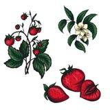 Vektorillustration von den Erdbeeren und von Erdbeere lokalisiert vektor abbildung