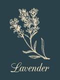 Vektorlavendel-Niederlassungsillustration Übergeben Sie gezogene botanische Skizze der Heilpflanze in der Stichart Organisches Kr Stockfotografie