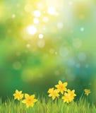 Vektorn av påskliljan blommar på vårbakgrund. Arkivbild