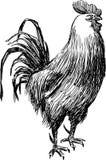 Skissa av rooster Royaltyfria Bilder