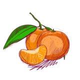 Vektorn skissar av mandarinen Royaltyfri Fotografi