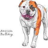 Vektorn skissar den amerikanska bulldoggaveln för hunden stock illustrationer