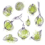 Vektornahrungsmittelclipartsatz klare Zwiebeln übergeben das gezogene lokalisierte purpurrote Gemüse und grüne Farbe lizenzfreie stockbilder