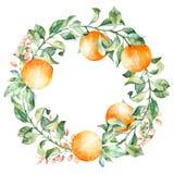 Vektorrundaram av vattenfärgapelsinen och blommor Vattenfärgillustrationkrans av mandarinen och sidor