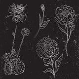 Vektorsamlingen av drog pionen för silver handen och steg blommor och sidor på svart bakgrund Royaltyfri Bild