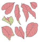 Vektorsamlingsuppsättning av teckningar för blad för växt för rosa neon för SyngoniumPodophyllum Robusta stock illustrationer