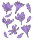 Vektorsammlung eingestellt mit verschiedenen purpurroten Krokusfrühlingsblumen und -blumenblättern stock abbildung
