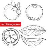 Vektorsatz mit Entwurf der purpurroten Frucht und Blatt Mangostanfrucht- oder Garciniamangostanfrucht im Schwarzen lokalisiert au Stockbild