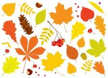Vektorsatz von verschiedenen, Herbstbaumblättern, von Ebereschenbeeren, von Eichel, von Kastanien und von Kiefernkegel Stockfotos