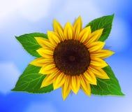 Vektorsonnenblume mit Blättern Stockfotografie