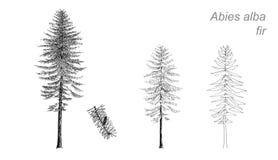 Vektorteckning av gran (Abies album), stock illustrationer