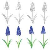 Vektoruppsättning med blommor för hyacint för för översiktsblåttmuscari eller druva och gräsplansidor som isoleras på vit Blom- b Royaltyfri Bild