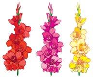 Vektoruppsättning med den röd, rosa färg- och gulinggladiolusen eller gruppen för blomma för svärdlilja som isoleras på vit bakgr Royaltyfria Bilder