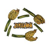 Vektoruppsättning med zucchinin Royaltyfria Bilder