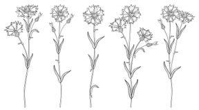 Vektoruppsättningen med översiktsblåklint- eller knapweed- eller Centaureablommor samlar ihop, slår ut och spricker ut i svart so