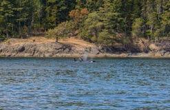 Vela de un par de orcas Fotografía de archivo