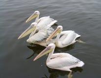 Vela dos pelicanos em uma superfície lisa do mar Fotos de Stock