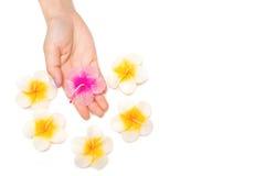 Vela hermosa del balneario del hibisco del aroma Fotografía de archivo libre de regalías