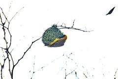 Νότιος καλυμμένος υφαντής που χτίζει μια φωλιά στοκ φωτογραφία