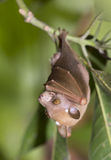 Veldkamp's epauletted bat (Nanonycteris veldkampii) hangin in a tree. Royalty Free Stock Images