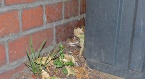 Veldmuis achter een bak terwijl het wachten op die een bus, foto in het UK wordt genomen stock foto
