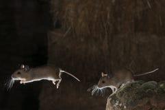 Veldmuis in schuur en hooiberg, stroboscoop, Apodemus-sylvaticus royalty-vrije stock fotografie