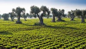 Veldsla met olijfbomen Royalty-vrije Stock Afbeelding
