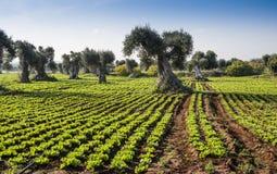Veldsla met olijfbomen Stock Afbeeldingen