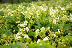 Vele aardbeibessen zijn bloemen Stock Foto's