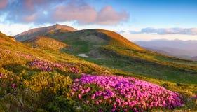 Vele aardige roze rododendrons op de bergen Stock Foto's