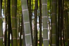 Vele bamboestelen, bamboebomen Royalty-vrije Stock Fotografie