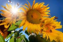 Vele bijen die rond zonnebloemen vliegen Royalty-vrije Stock Afbeeldingen