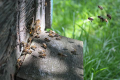 Vele bijen op bijenkorf Stock Fotografie