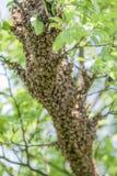 Vele bijen op boom Royalty-vrije Stock Foto