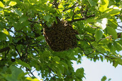 Vele bijen op boom Royalty-vrije Stock Afbeeldingen