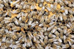 Vele bijen op bijen zetten met koningin in de was royalty-vrije stock foto