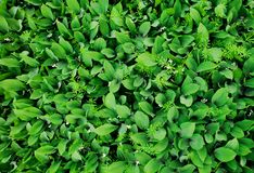 Vele bladeren van lelietje-van-dalen stock foto's
