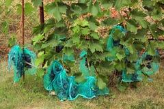 Vele blauwe druivenbossen in beschermende zakken tegen damag te beschermen Royalty-vrije Stock Afbeeldingen