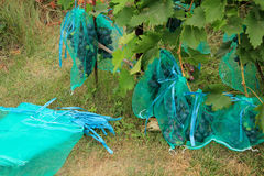 Vele blauwe druivenbossen in beschermende zakken tegen damag te beschermen Royalty-vrije Stock Foto