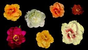 Vele bloeiende bloemen stock videobeelden