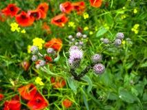 Vele bloemen van een rode papaver op de achtergrond van een gebied royalty-vrije stock fotografie